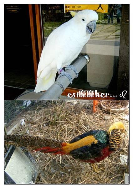 鸚鵡與黃金雞.jpg