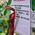 28 辛布亞島豬籠草