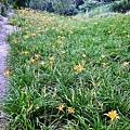 9 高山種金針花