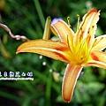 11 高山種金針花