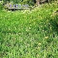 15 高山種金針花