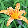 19 高山種金針花