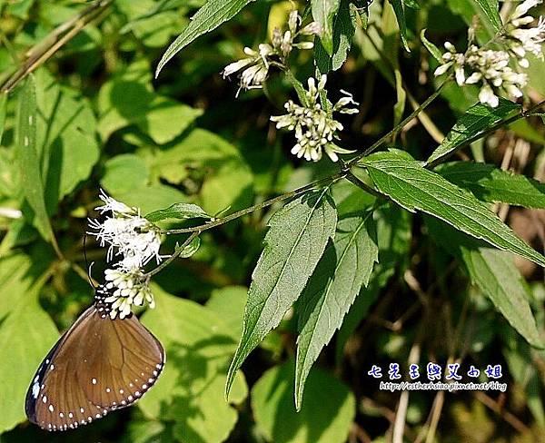 25 紫斑蝶