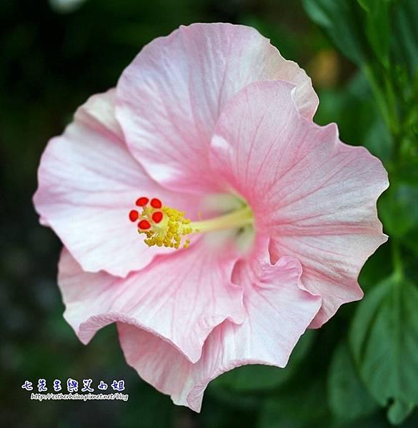29 扶桑花