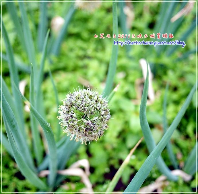 3 青蔥花.JPG
