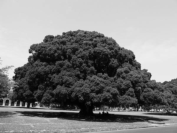 日本裕仁天皇親手植下的日本原生種榕樹