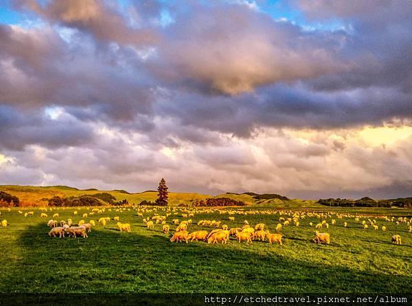 綿羊 Sheep