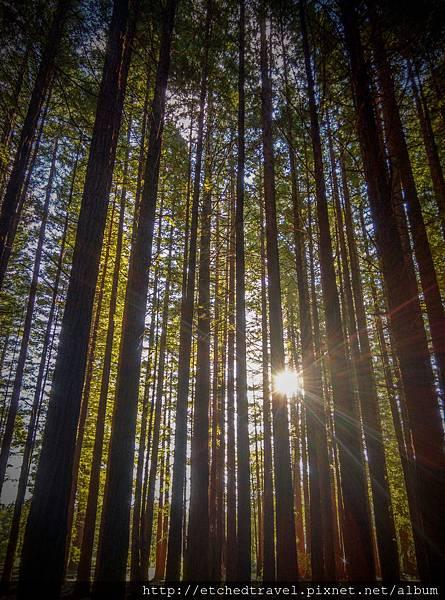 紅木 Redwood