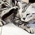 寵物攝影-貓