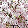 小惡魔老師的在地記實-淡水三芝天元宮櫻花