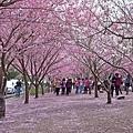 小惡魔老師的在地記實-武陵櫻花季