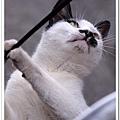 小惡魔老師的婚紗攝影-侯硐。貓 小惡魔老師的婚紗攝影-侯硐。貓