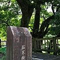 花蓮 六十石山 百年老樹