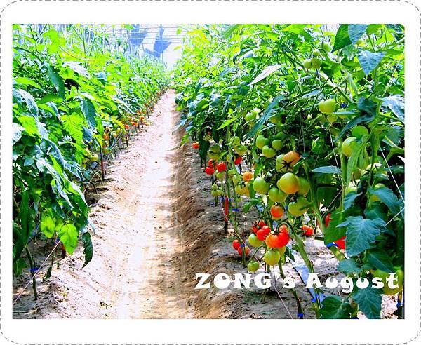 20110820-阿隆伯父的番茄園.jpg