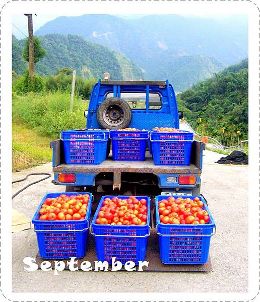 20110915-番茄大豐收.jpg