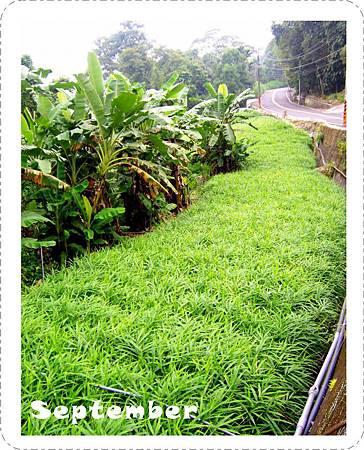 20110919-阿隆伯父的薑園.jpg