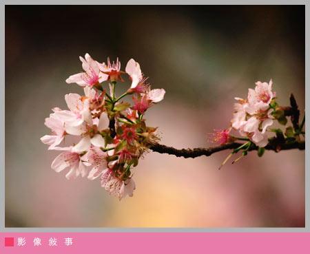 櫻花雨09.jpg