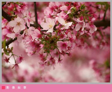 櫻花雨06.jpg