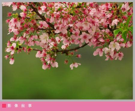 櫻花雨07.jpg