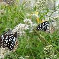赤柯山上好多蝴蝶