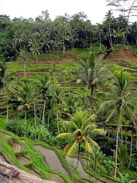 Bali- Tegallalang