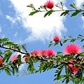 毛茸茸的紅花