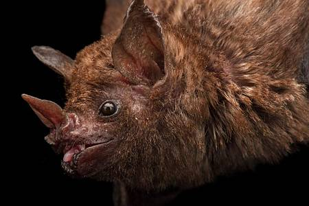 01-bats-blood-bolivia-nationalgeographic_1767076.adapt_.1190.1.jpg