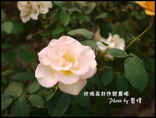 06-4玫瑰.jpg