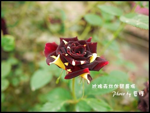 06-5玫瑰.jpg