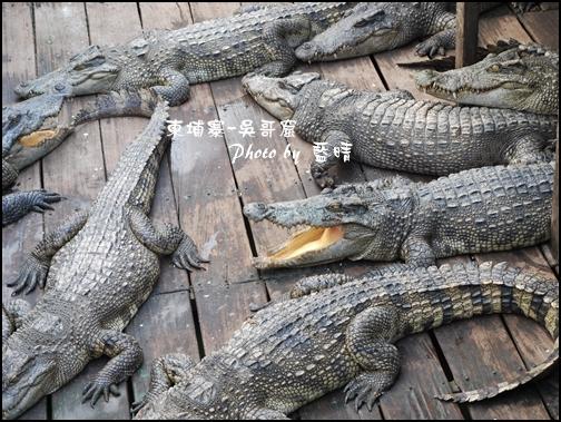 11-030-吳哥窟-洞里薩湖-鱷魚.jpg