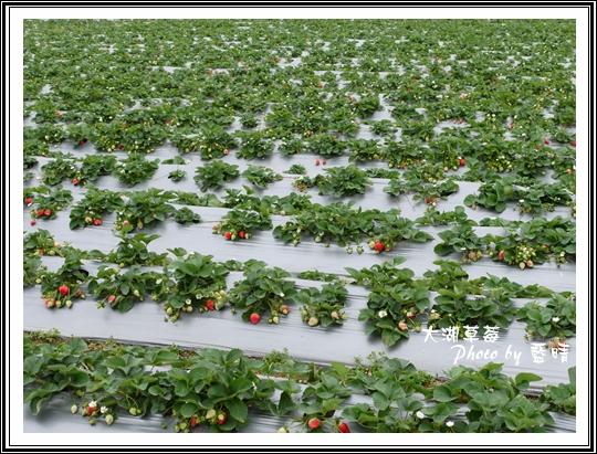 大湖草莓01.jpg
