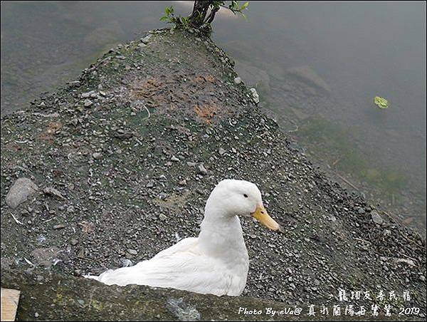 真水蘭陽白鷺鷥-30.jpg