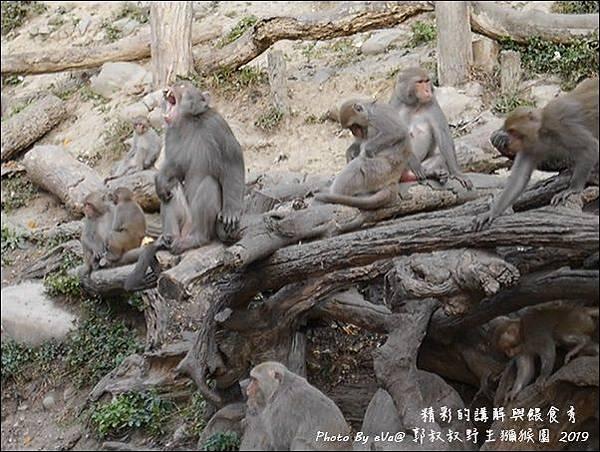 郭叔叔野生獼猴園-42.jpg