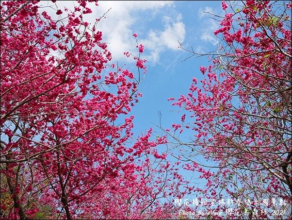 櫻花鳥森林-54.jpg