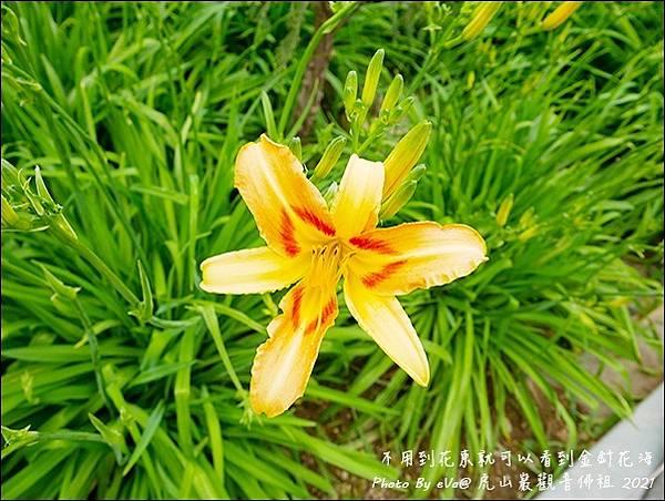 虎山巖金針花-17.jpg