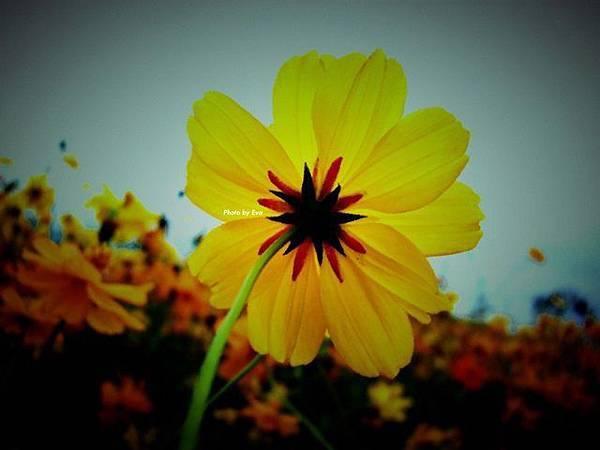 黃色波斯菊_2.JPG