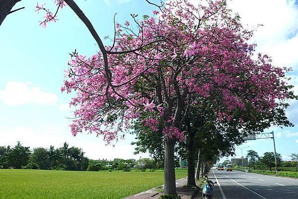 花樹全景.JPG