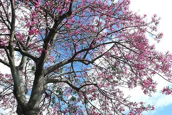 美麗的花樹.JPG