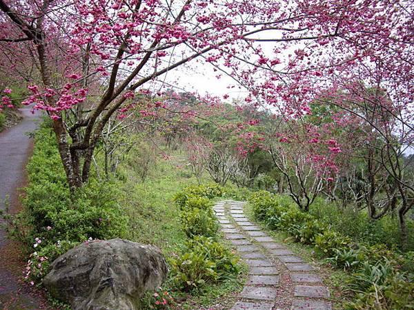 櫻花和石板小徑
