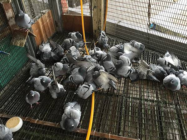 移往台北的種鴿
