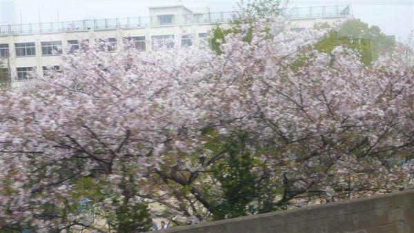 以為看不到櫻花了