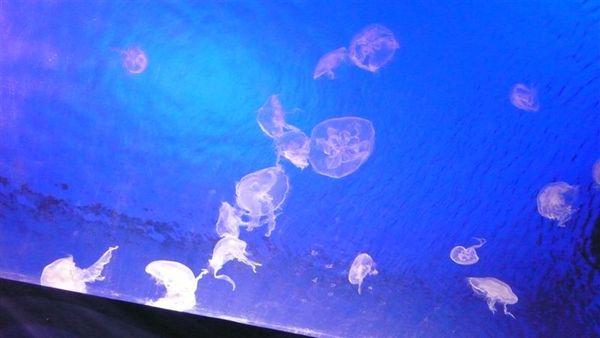 整缸的水母 好多不同的形狀