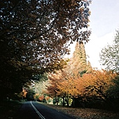 Mt Wilson上的紅樹