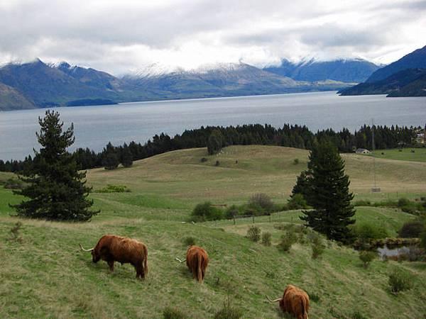 某種長角的牛