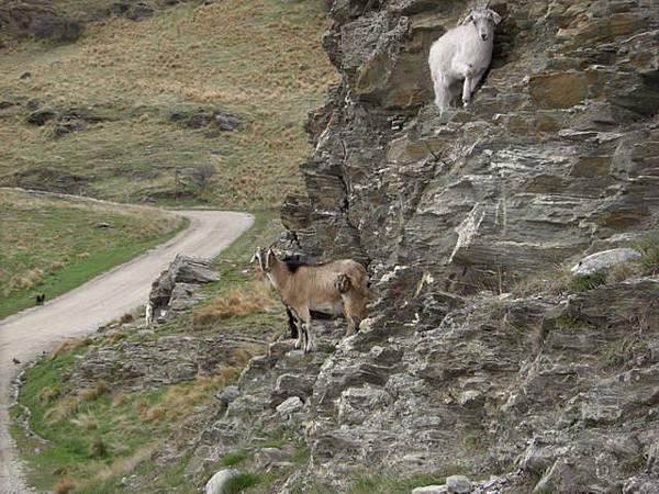 不曉得為什麼喜歡爬很高的山羊