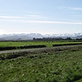 廣告說紐西蘭的牛羊 都是喝最純淨的水 吃著無污染的草長大的