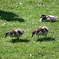 到公園看小鴨