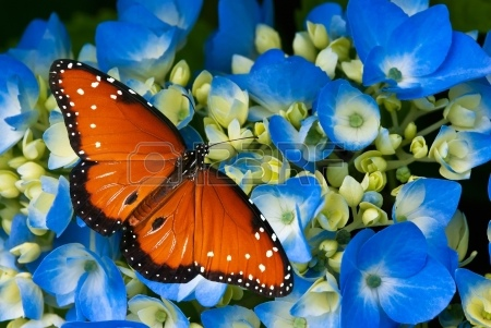 紫陽花和蝶