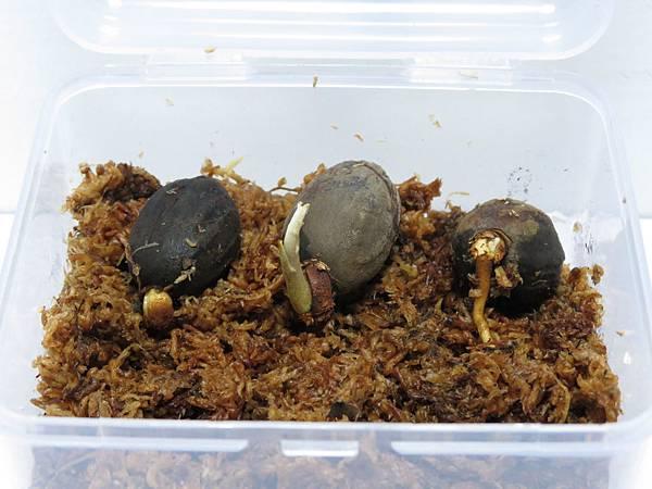 蘭嶼肉豆蒄-2013-06-24