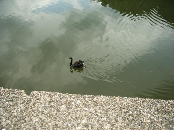 慈湖上的黑天鵝